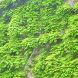 アイビー(蔦)で建物の壁を緑化する良い所と家に危険なデメリット