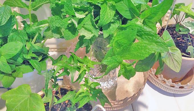 ツタ 鉢植え