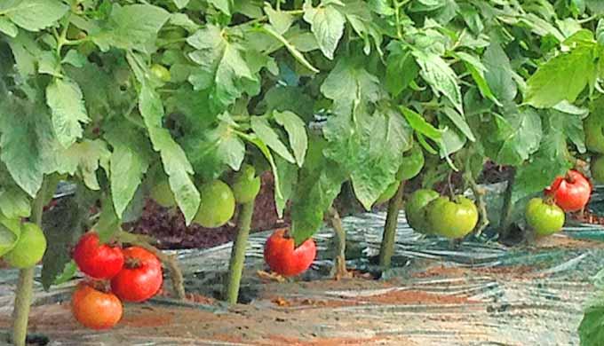 畑 トマト